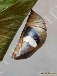 chrysalises-portrait-00820191013_065851_10-44-47-196