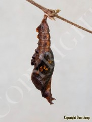 chrysalises-portrait-01020191019_071641