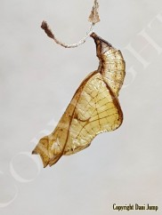 chrysalises-portrait-01120191020_080555