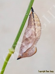 chrysalises-portrait-15920201120_111848