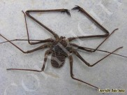 whip-spiders-13whip_scorpions_and_spiders01