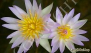 water-lilies-006Water_Lilies03