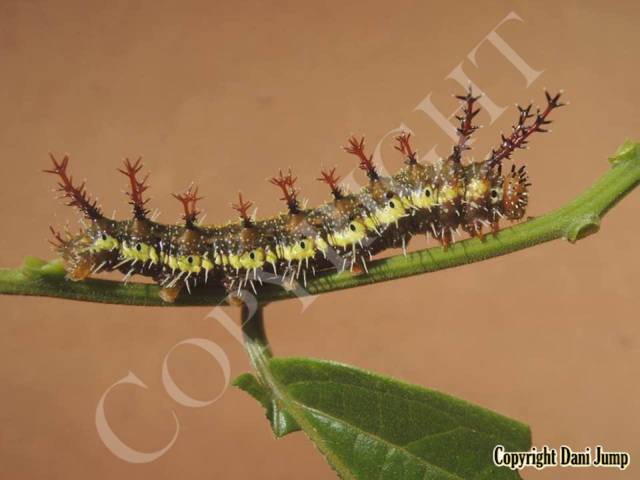 Butterfly Larvae